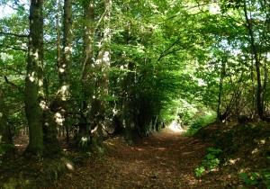 Dibden Woods, Kent.
